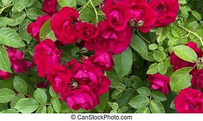 przenosić, czerwony, dziki, wiatr, róże, ogród