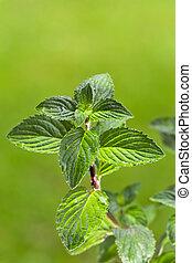 przyprawa, ziołowy, outdoors, natura, mięta zielona, mięta, tło, liście, nikt, liść, pora, zdrowie, zielony, roślina, organiczny, rosnąć, naperfumowany, krzak, mentol, ziele, pachnący, odświeżanie