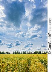 pszenica, niebo, pochmurny, kłosie