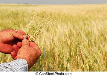 pszenica, siła robocza, durum, gospodarski