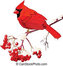 ptak, kardynał, czerwony