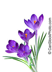 purpurowy, krokus