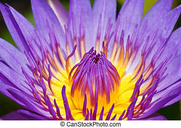 purpurowy, lotos