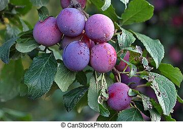 purpurowy, stanley, śliwka, suszona śliwka, owoce