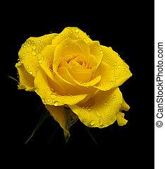 róża, żółty, rosa, czarne tło, krople