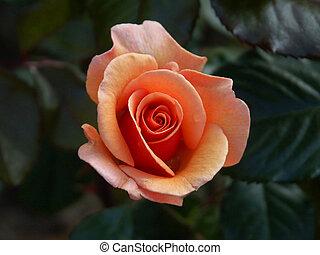 róża, alpejski, 03