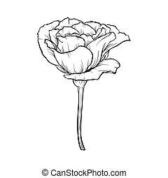 róża, biały, czarnoskóry, odizolowany, tło.