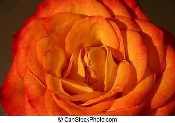 róża, iii