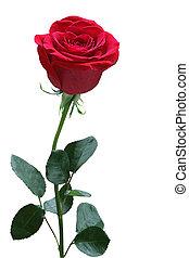 róża, jednorazowy