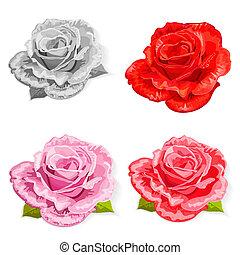 róża, komplet, odizolowany