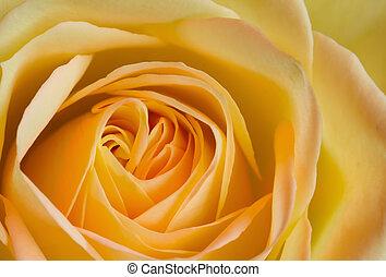 róża, wizerunek, do góry, żółty, pomarańcza, zamknięcie