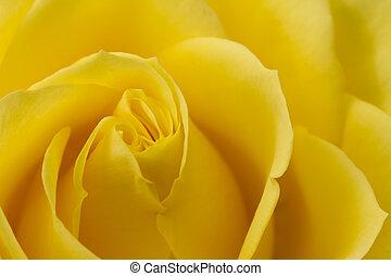 róża, wizerunek, do góry, żółty, zamknięcie
