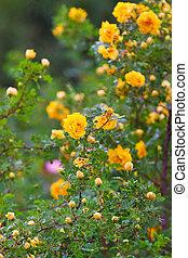 róże, krzak, soczysty, żółty