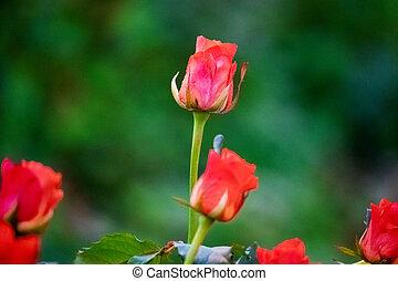 róże, krzak, soczysty, szklarnia