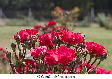 róże, ogród, czerwony