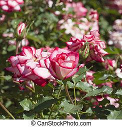 różowe róże, ogród