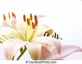różowy, blady, wizerunek, do góry szczelnie, lilia