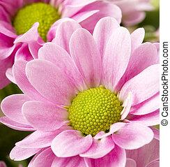 różowy, chryzantemy, wizerunek, do góry szczelnie, grono