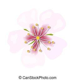 różowy kwiat, migdał, odizolowany, makro, tło., closeup, biały