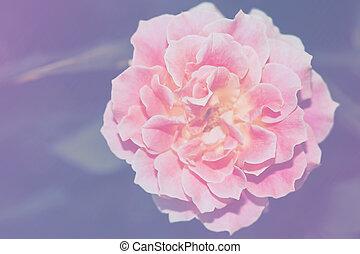 różowy kwiat, róża, wizerunek, do góry, jednorazowy, zamknięcie