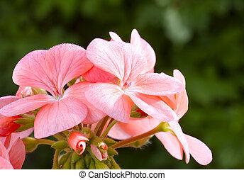 różowy kwiat, wizerunek, do góry, bodziszek, (pelargonium), zamknięcie