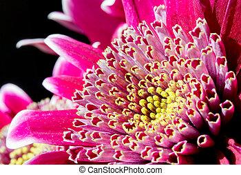 różowy kwiat, wizerunek, do góry, ciemny, chryzantema, zamknięcie