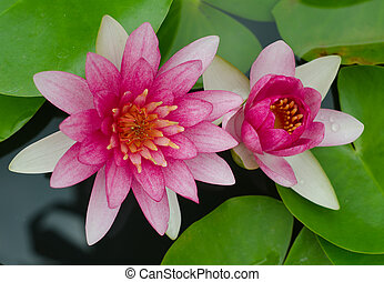 różowy, lotos, woda, kwiat, rozkwiecony, staw, kwiaty, lilia, albo