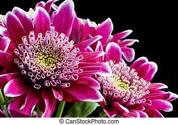 różowy, wizerunek, do góry, ciemny, chryzantema, czarnoskóry, zamknięcie, kwiaty
