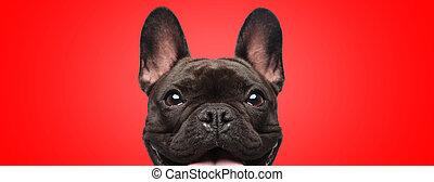 radość, aparat fotograficzny, patrząc, pełny, buldog, francuski, pies