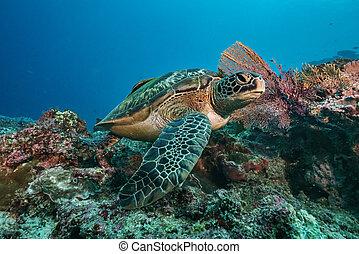 rafa, nurkowanie, koral, scuba, pływacki underwater, żółw, zielony