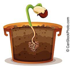roślina garnczek, glina, rozwój