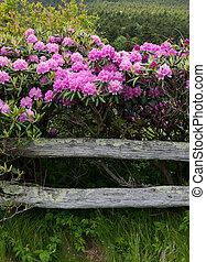rododendron, sztacheta chronią