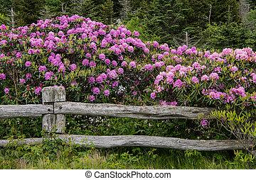 rododendron, sztacheta, koc, płot