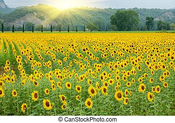 rolnictwo, słonecznik