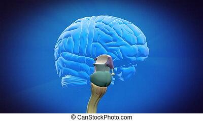 rozdzielony, mózg, strony, -