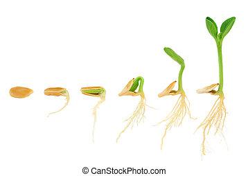 rozwój, pojęcie, następstwo, odizolowany, roślina, rozwój, dynia