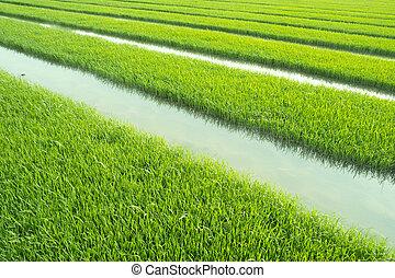 ryż, rozsady