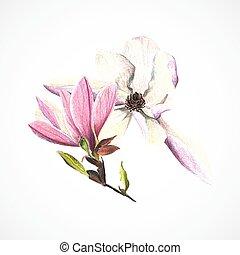 rysunek, wektor, ręka, ołówki, wizerunek, magnolia, kolor