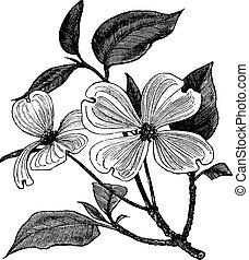 rytownictwo, cornus, rocznik wina, floryda, dogwood, flowering, albo