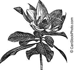 rytownictwo, grandiflora, rocznik wina, magnolia, południowy, albo