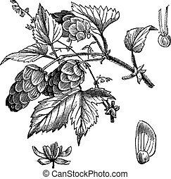 rytownictwo, humulus lupulus, rocznik wina, wspólny, chmiel, albo