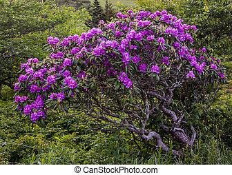 sękaty, rododendron, krzak, kwiaty, pokryty