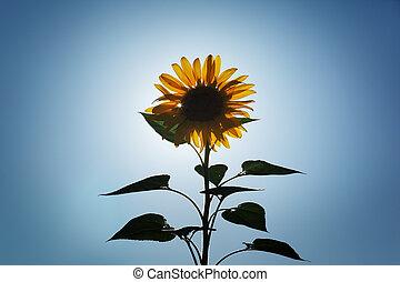 słońce, na, słonecznik