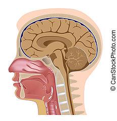 sekcja, głowa, środkowy, eps8, ludzki