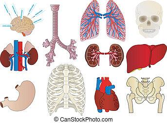 serce, żołądek, wewnętrzny, komplet, osoba, wątroba, wektor, tchawica, nerka