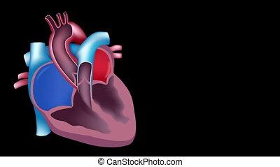 serce, potok, krew, pętla
