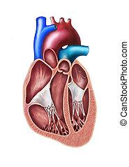 serce, sekcja