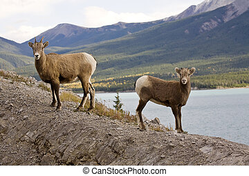 sheep, góra, skalisty
