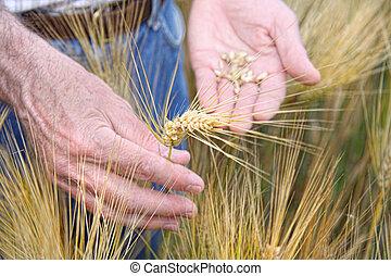 siła robocza, dzierżawa, pszenica