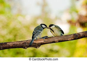 sikora, wielki, żywiące ptaszki